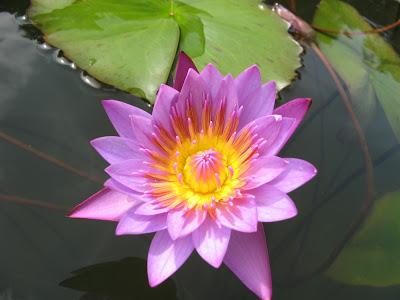 Lotus at its best at Pookot Lake, Wayanad