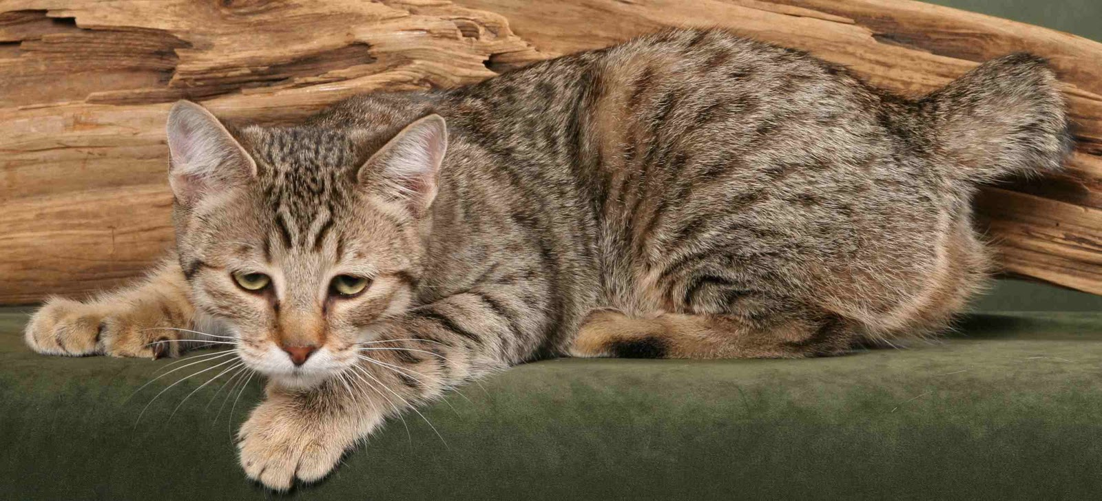 Amazing Dogs Breeds: Pixie-Bob Cat
