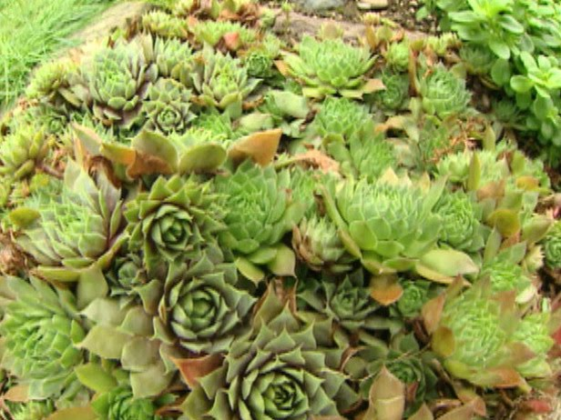 Dtl Herbs Ltd Herb Of The Week Hens And Chicks