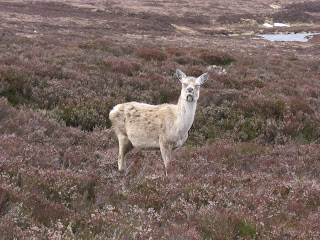deer by Corrour Bothy