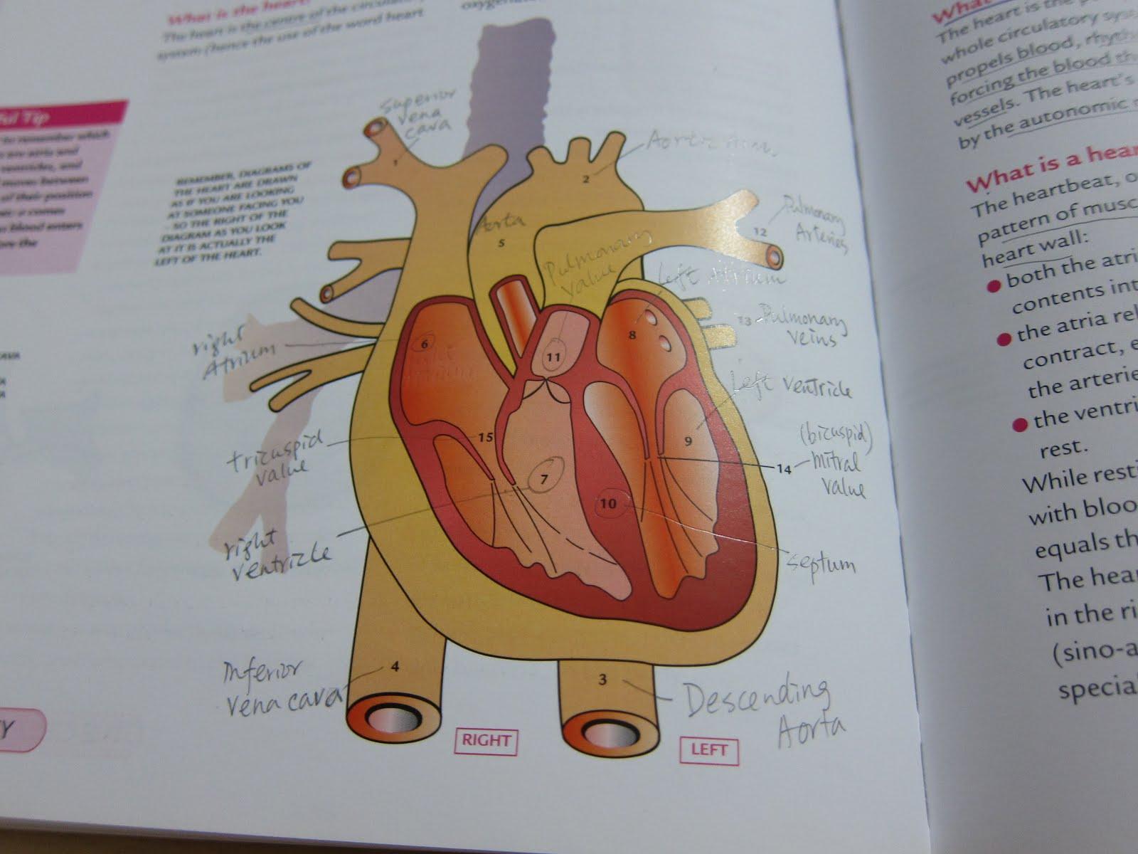 Heart Whispering: 溫習循環系統想到的