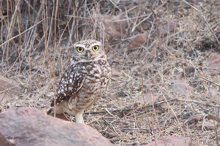 Christian Artuso: Birds, Wildlife: Owls of Peru – Part 2 ... - photo#46