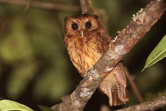 Christian Artuso: Birds, Wildlife: Owls of Peru – Part 3 ... - photo#37