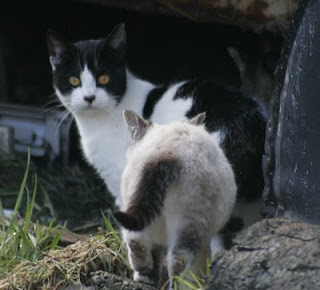 black and white COW CAT photo