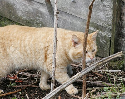 Hammie Hamster Cat, the bobtail orange feral prowls the brush