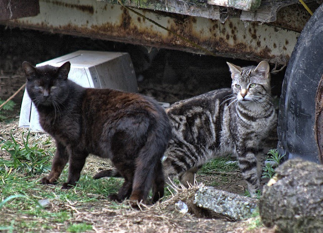 a black cat and a tabby cat, two ferals hanging out