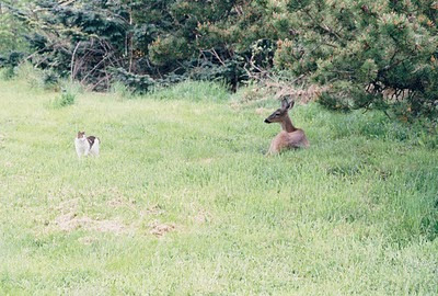 Lucy the cat investigates a deer in the yard