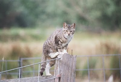 feral cat on fence post photo