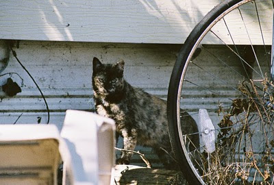 Tortoise shell tabby feral cat with bicycle wheel art photo