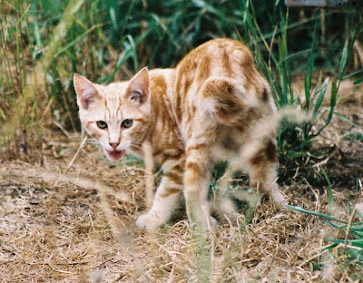 The New LowJack, a young orange bobtail cat