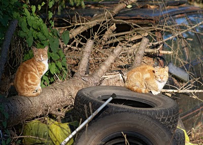 two orange tabby feral cats, with tires and tree