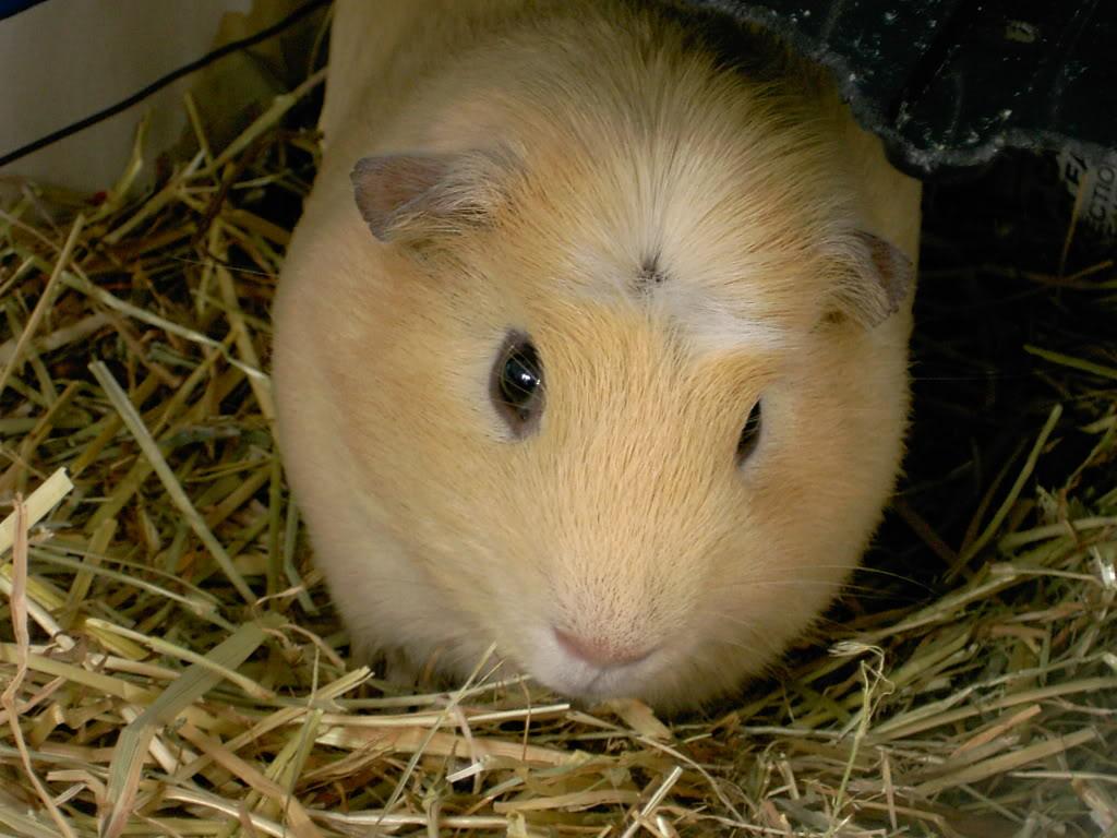 Crested guinea pig - photo#35