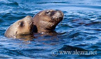 lobos marinos nadando en Península Valdés
