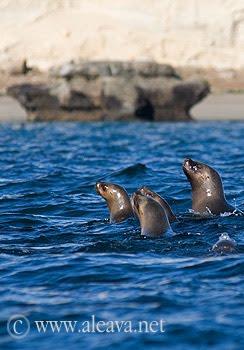 Sea Lion in Valdes Peninsula