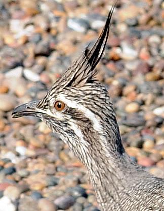 Martineta aves de Península Valdés