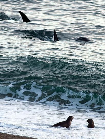 Orcas en Punta Norte Península Valdés