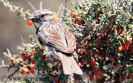 Chingolo - Pájaro de Península Valdés