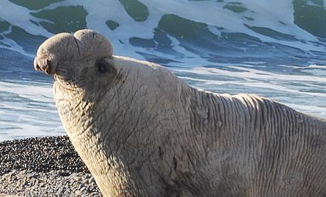 Compartativa entre Elefantes Marinos y Lobos Marinos