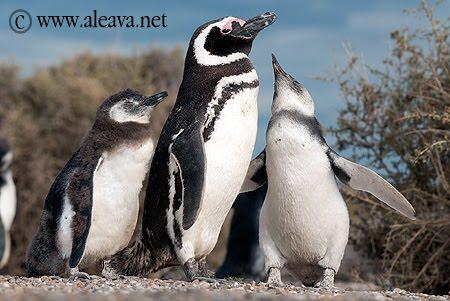 Pingüinos de Magallanes en Península Valdés