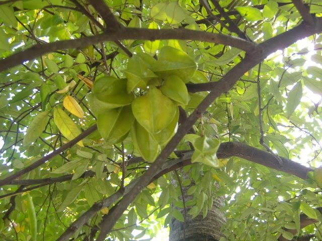 Hello Vietnam!: The golden star fruit tree