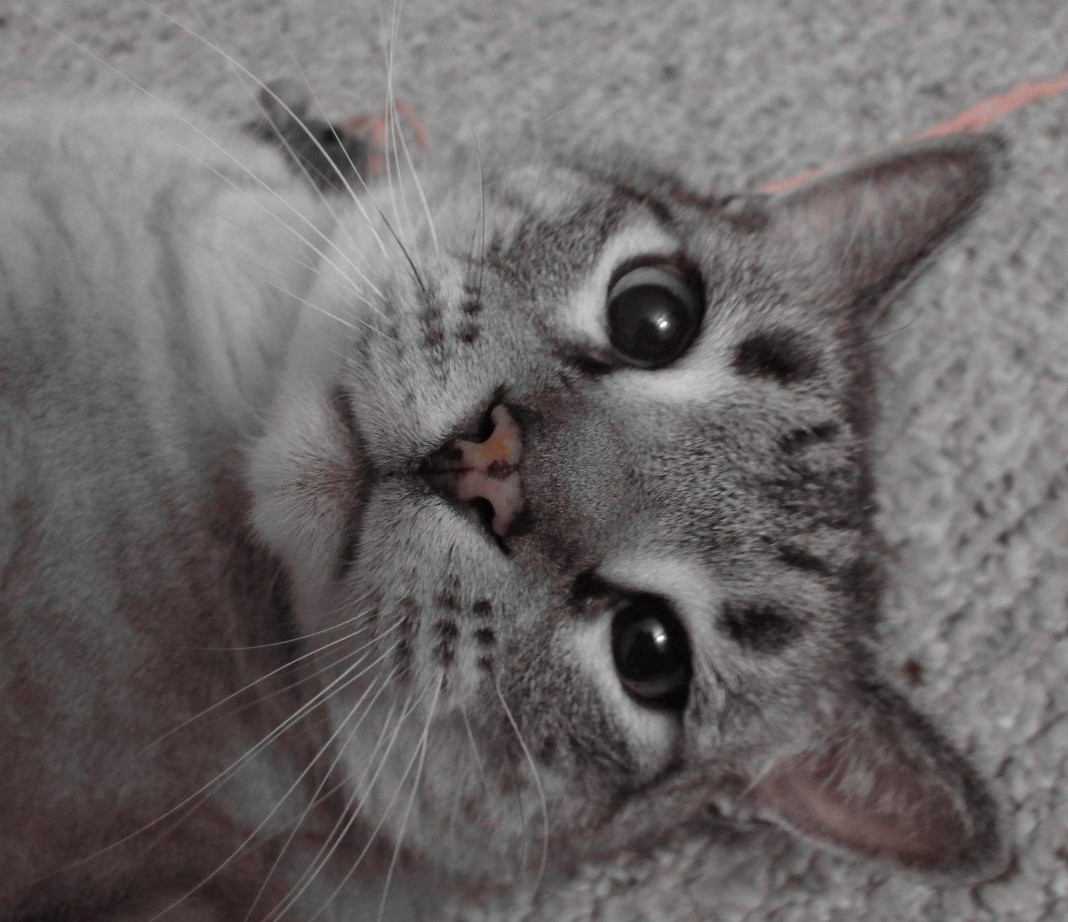 Drooling Cat Adams Flea