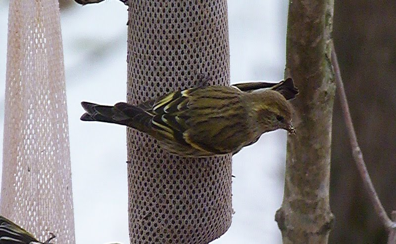 Pioneer Birding: MA - bright green morph Pine Siskin - 01/05