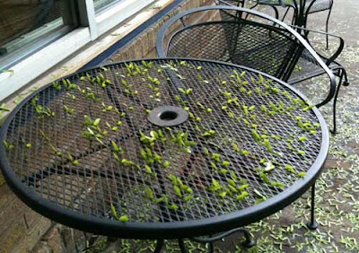 Black wire mesh table with maple seed spinners stuck in the holes