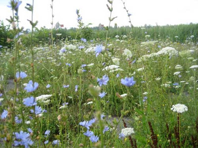 Periwinkle colored and white flowers in a field.