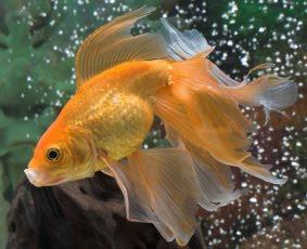 A tutta natura storia di un pesciolino dorato il pesce for Carpa pesce rosso