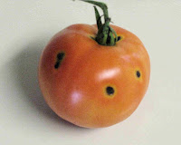 Tomato Fruit In Home Gardens And Commercial Fields Denver The Northern Front Range Have Developed A Black Spot Disease Unusual For Our Area