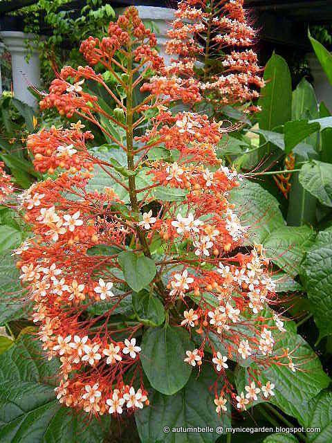 My Nice Garden Clerodendrum Paniculatum Pagoda Flower