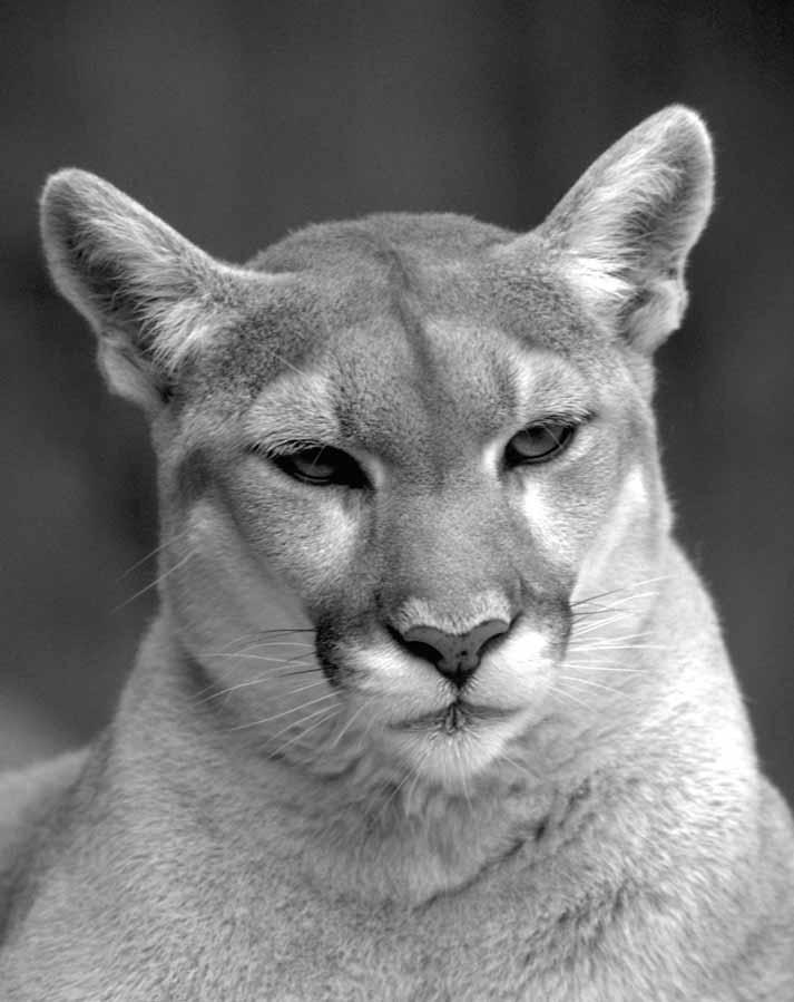 Mountain lion face - photo#40