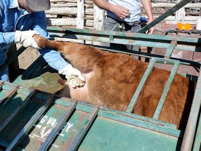 Desert Survivor Processing Calves