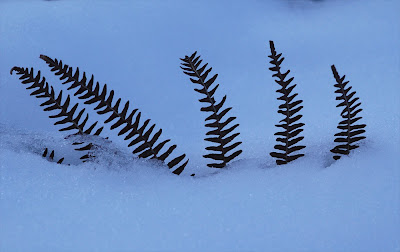 Bracken in snow
