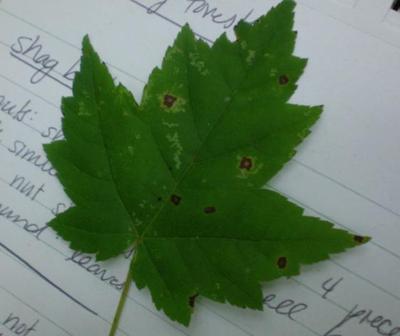Red Maple Tree Leaf Identification | Car Interior Design