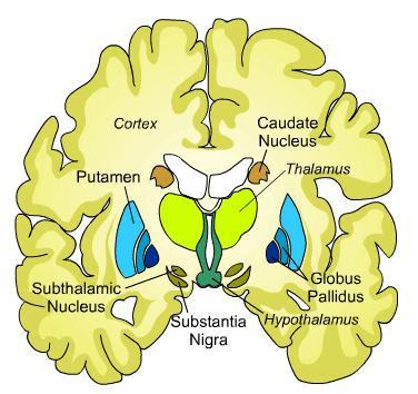science natural phenomena medicine caudate nucleus