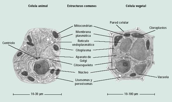 Organelas De La Celula Diferencia Entre La Celula Animal Y
