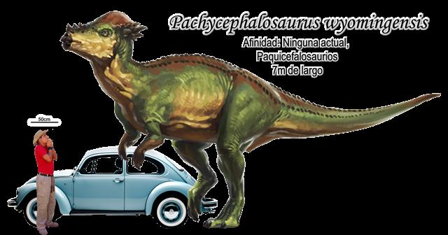 Pachycephalosaurus wyomingensis a escala