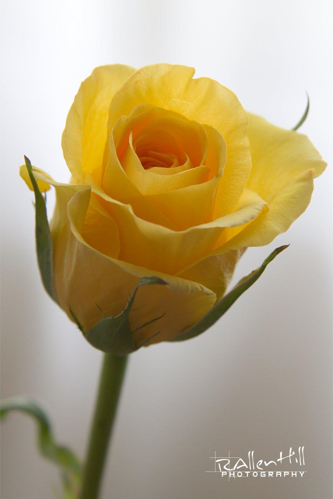 Yellow rose images hd - Yellow rose images hd ...