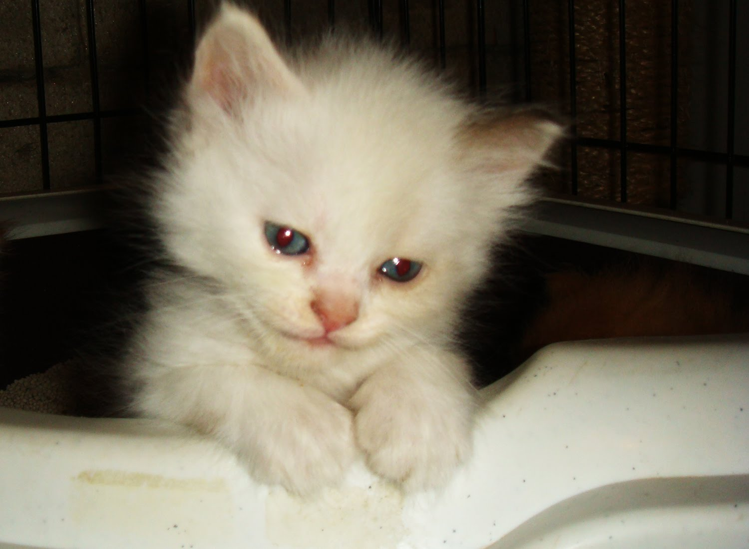 Persian Cat for sale - Manila (Philippines): Persian Cats for sale