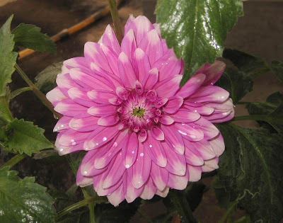 Pink Dahlia Flowers Picture