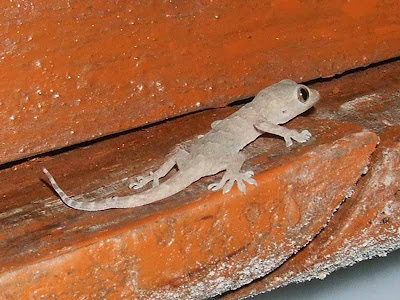 House Gecko Young Ones