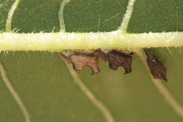 leaf hopper and meat ant relationship with god