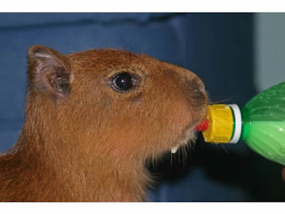 My Funny Caplin Rous Famous Giant Hamster Pictures