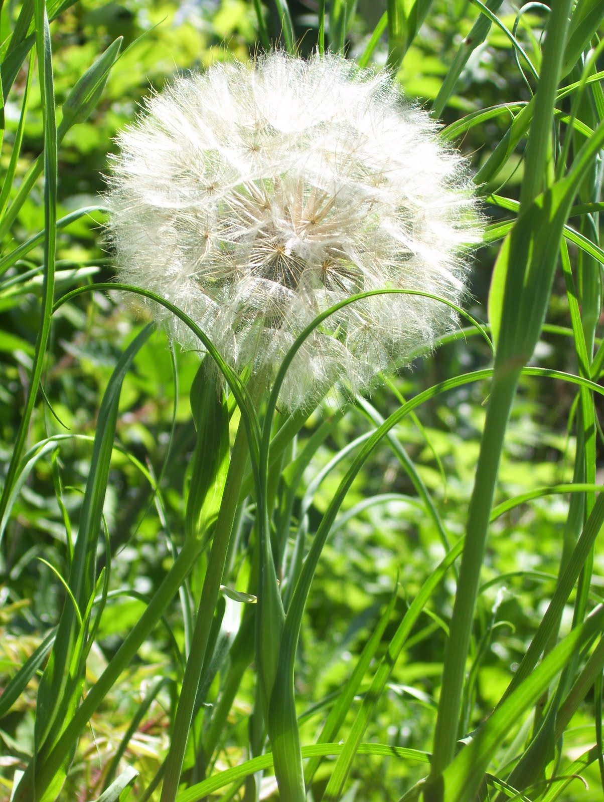 One Huge Dandelion Type Flower Officially Known as Salsify ...