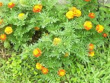 The lowly marigolds that I love because they'll grow anywhere and are easy to maintain