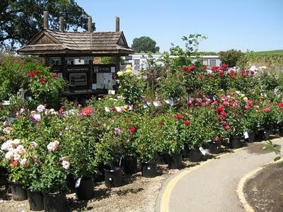 amador farmer fred rose roses rant farm display