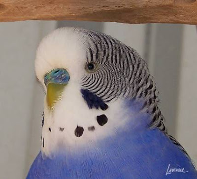 The Birds and The Beads: Budgie Sunday - Meet New Friend
