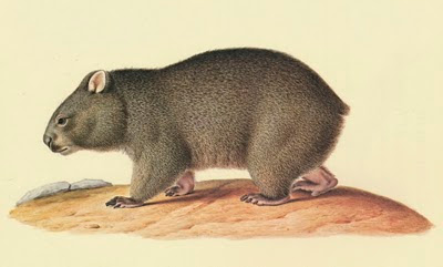 Illustration Up Close The Way Of The Wombat