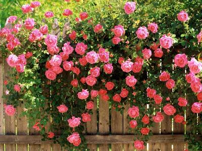 cerca-cubierta-de-rosales